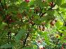 대구수목원에 혈액 순환 개선 설사 기침에 쓰이고 떫은 단맛이 나는 순종 뜰보리수,열매,효능.