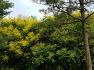 대구수목원에 간염 소화불량 이질등 다양한 약으로 쓰이고 염주,염료,비누로 사용하는 모감주나무,꽃,효능.