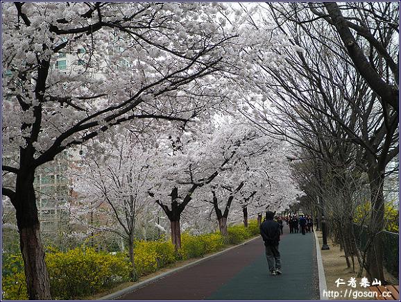 중랑천 벚꽃 만발